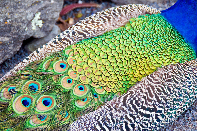 04-05-08 diRosa Preserve Peacock<br /> <br /> OK, sorry for all the peacocks, but they're just SO BEAUTIFUL! They were at the diRosa Preserve and were much more interesting than the modern art there.
