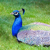 04-05-08 diRosa Preserve Peacock 4