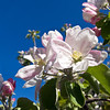 04-07-08 Apple Blossoms