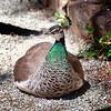04-05-08 diRosa Preserve Peahen 1