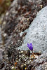 A tiny flower holds a single drop of water inside on the rough granite walls of Archangel Valley.