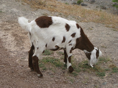 Our friendly goat - Kimberly Collins