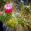 08-04-08 Cactus Flower