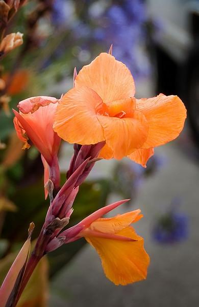 08-20-08 Orange Canna Lily