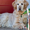08-14-08 Red Door and Golden Retriever<br /> <br /> I LOVE his expression and his crossed paws!<br /> <br /> Couldn't get that junk (some weeds growing in his front yard) out of the bottom right without ruining the picture, so I just played with it in PaintShop. Way oversharpened it, then used edge preserving smooth. Did that twice (layers) then faded the top layer to about 30%. I like the effect - painted.
