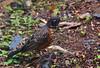 American Robin (Turdus migratorius) Juvenile<br /> <br /> 16 August 2008.
