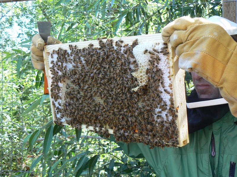 1st hive, 3rd frame