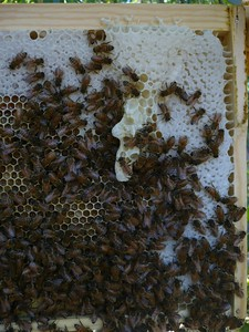 Is this burr comb or are they setting up for making a new queen???