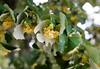 Linden trees in flower.