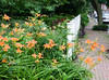 Day lilies spilling out in the sidewalk.