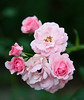 Little pink roses.