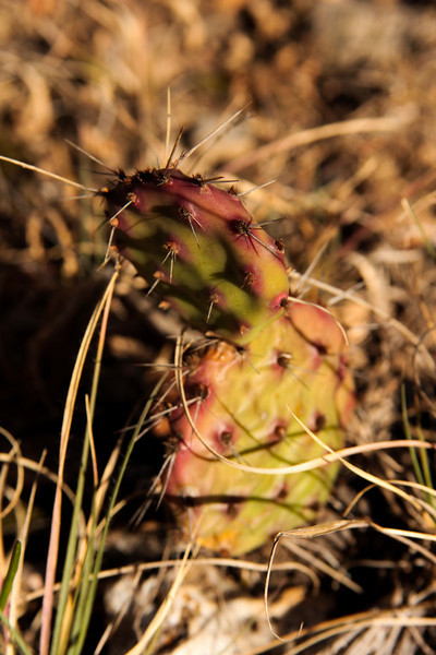 Early morning light feeds a small cactus in the grass in Texas.
