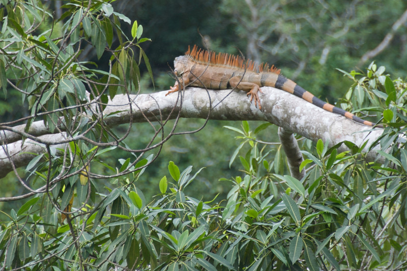 Iguana lieing in a tree.  Saw him shortly after we entered Belize from Guatemala.
