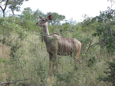 Kudu - Kimberly Collins