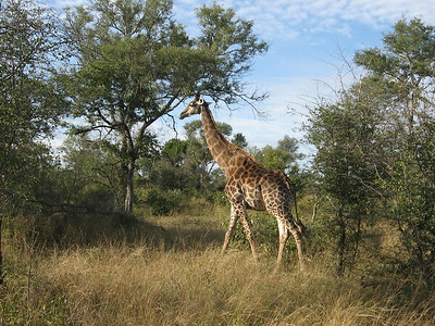 Graceful giraffe - Kimberly Collins