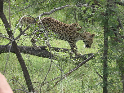 Leopard on a limb - Kimberly Collins