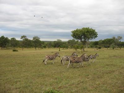 Zebra - Kimberly Collins