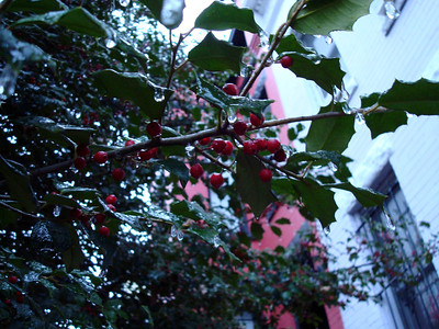 Tree outside my apartment 21 December 2008