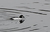 Day 277 - Common Goldeneye  (Bucephala clangula)<br /> <br /> It was supposed to be sunny, but a thick fog rolled in melting all the snow.  I tried getting some fog shots and came across a bunch of these guys. It's the first time I ever saw them.<br /> <br /> <br /> Dec 28 2008