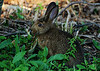 Day 161 - Bun E. Wabbit<br /> <br /> We were walking this trail near a lighthouse lookoff, just admiring the flowers, taking some photos and such.  When out of the bush hopped this little guy about 3-4 feet from us.  I whispered to Barb, rabbit don't move. hehe<br /> <br /> So he was content while we snapped a dozen or so photos. He was very patient and remained eating away as Barb walked away. He did freeze for a moment, but continued soon after and I was able to get some closer shots, until the gravel I was on made a loud crunching noise, then he was gone. :)<br /> <br /> It was a nice trip from Truro to Windsor, but man was it humid.  I think it hit 90F/30C today with high humidity.  On the way home, the fog greeted us as we entered Halifax, temps dropped by 20 degrees and we were loving the relief.  You don't mind sweating all day, and freezing at night - pull the comforter up to get warm. LOL.  <br /> <br /> July 27 2008