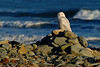 Day 258 - Snowy Owl<br /> <br /> I heard of some owls in the area, so I traveled to Hartlen Point this afternoon.  I was walking along the cobble beach checking out the coral and soft shell crabs stranded from low tide and watching the tide come in smashing huge waves on the shore of Devil's Island.  <br /> <br /> I was just about ready to head back when I noticed what looked like a new piece of driftwood on the beach.  Something out of place from the last time I was here a few months ago (I have a photographic memory that makes me notice this stuff).  I was about 1000 feet away, so I zoomed in the best I could, and then I saw it move, adjusting its wings.  My mouth dropped! :)<br /> <br /> It took me a while to work my way through the bushes and briers to get within 50 feet.  The owl knew I was there and allowed me to continue observing for about a half hour.  He was really amazing to watch.  Then I heard some dogs barking in the background, off he went to some pine trees in the distance.<br /> <br /> I spoke to a birder in the area and he said everyone is excited because there are going to be a lot of owls headed South this year.  It was a very successful breeding year and there are hundreds headed our way from the Arctic.  <br /> <br /> This owl is most likely a male, as it's been reported that most young males have already begun heading South. So we should start to see more in the upcoming weeks.  He said there are already two or three in the area now, with more expected soon.<br /> <br /> <br /> Nov 27 2008