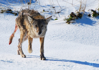 Day 255 - Eastern Coyote This morning I traveled to Hartlen Point in search of Eiders or other Arctic birds which are starting to appear in the area. I was hoping to see some Black Headed Gulls with their bright orange beaks. No luck  As I was about to head out of the area, I thought I noticed a dog in the distance alone on the beach. It had a reddish sheen somewhat like a fox, but it was larger than a fox. I positioned myself and waited for him to get closer for a better shot.  It was only when I zoomed in that I noticed it wasn't a dog or a fox ... it was a coyote. I couldn't believe it. Whats a coyote doing in this part of Nova Scotia?    I guess he was distracted by his search and didn't hear me right away because of the surf, but he was getting closer and closer. I was beginning to get concerned when he spotted me and stopped dead in his tracks. He froze for a couple of  seconds and I snapped this photo. He then turned in the opposite direction. WOW! What an exciting encounter that was.   He has been injured. Perhaps he's an Alpha and got into a fight with another Coyote. He didn't seem to be handicapped by it though and was busy hunting. Later I read that there are about 8,000 coyotes in Nova Scotia. They arrived here in 1982, and are larger than the Western Coyote weighing up to 50lbs. There is an abundance of food (deer, fox, and other wildlife) for them in the Annapolis Valley, but probably only large shore birds and hares by the ocean.   Nove. 23,2008.