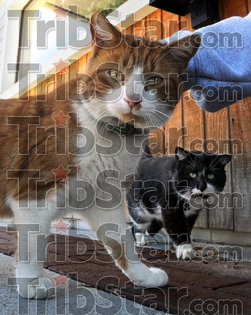 Club Kittys: Two cats greet visitors to the Club Soda at 609 South 4th Street Sunday afternoon.
