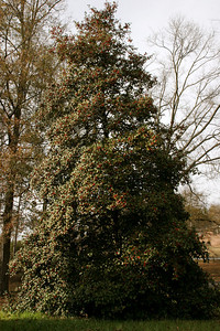 Gene Washburn's rather large holly tree, winter 2008.