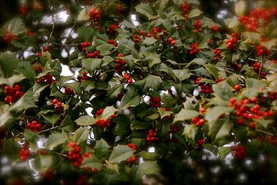 Gene Washburn's rather large holly tree, winter 2008.