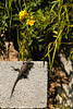 Blockwork in an empty lot provides a home and playground for all sorts of little critters, like this lizard.