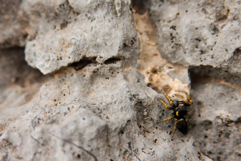 A tiny spider warns off predators with flashes of yellow, wandering along the limestone cliffs.