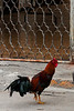 A rooster struts the streets of Hidalgo.