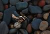 Seaweed root