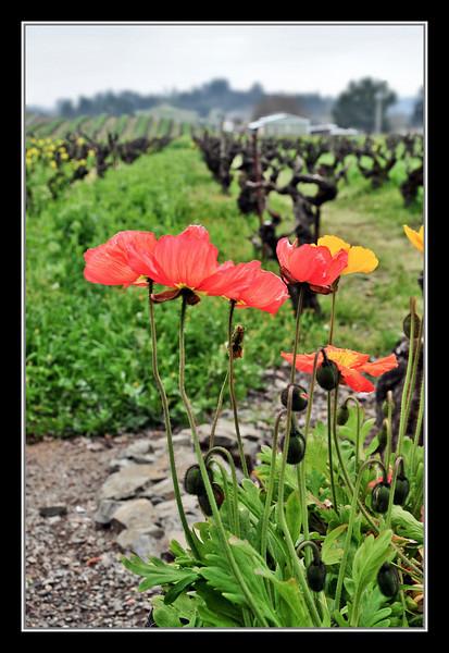 2-18-08 Sonoma - Ridge Winery -  Poppies