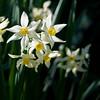 02-27-08 Daffodils (2)