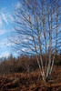 Birch cluster.  Wyse's Corner, NS<br /> <br /> January 13,2008.