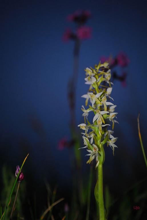 Nattviol fotad under blå timmen