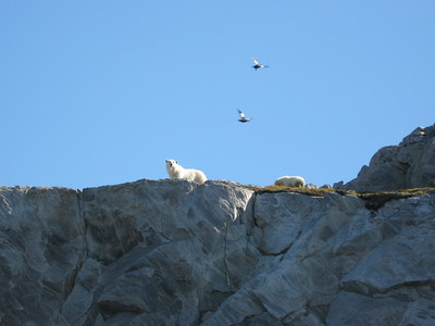 Polar Bears on Lady Franklin Island - Amy Garawitz