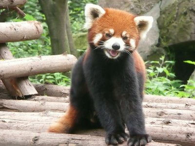 Red panda - Betty  and John Leydon