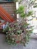 The fir - a mini xmas tree!