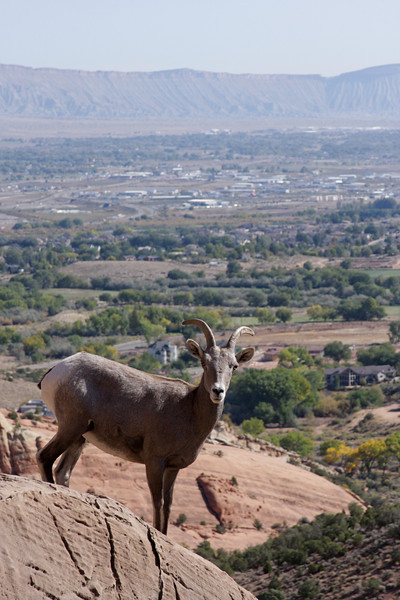 A Dall sheep stands in front of the modernized scenery at Colorado National Monument.