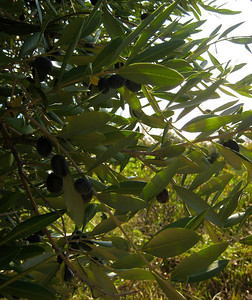 There were lots of olives on the steep hike back to the main trail from the beach.
