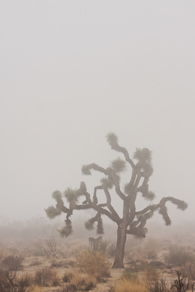 A Joshua Tree reaches its bizarre branches in all directions.