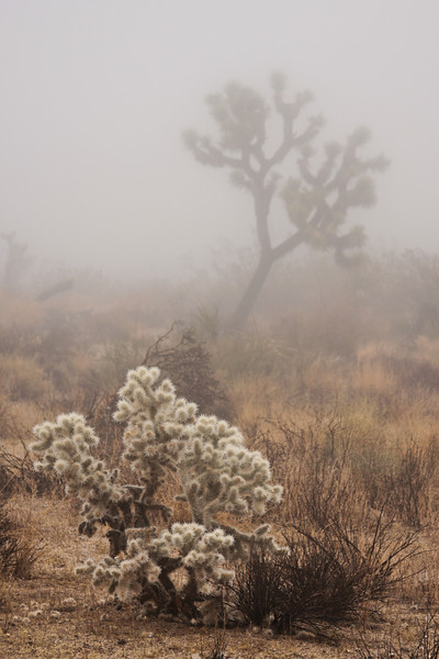 Fuzzy Cholla bristles with spines in front of a Joshua Tree.