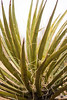 A yucca stretches its leaves to the elements to soak up the energy it needs to survive.