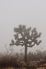 A large Joshua Tree dominates the foggy scenery.