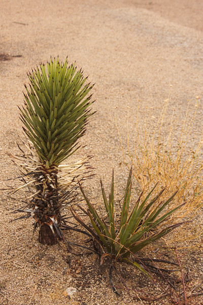 Many types of yucca decorate the desert landscape, giving us unlimited potential for new experiences.