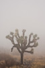 A large Joshua Tree stands out in the thick fog.