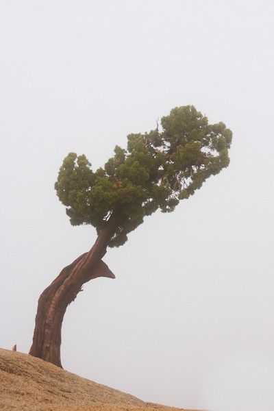 twisted curves of weathered wood make up this small tree in the Joshua Tree landscape.