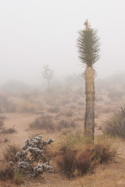 A Yucca sprouts tall over a jumbled Cholla, with a lone Joshua Tree in the background.